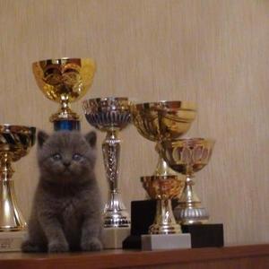 Продаётся алиментный котенок,  чистокровный британец