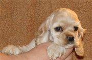 Американский кокер-спаниель щенки